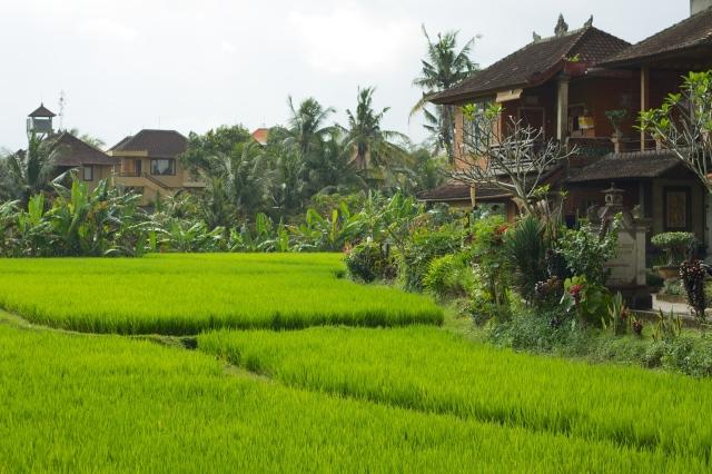 Bali_016_-_Ubud_-_rice_fields_amidst_the_town.jpg